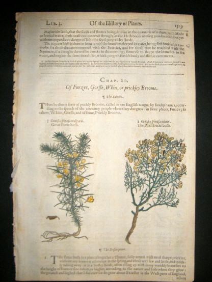 Gerards Herbal 1633 Hand Col Botanical Print. Genistella, Furze | Albion Prints